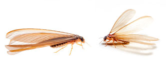 Watch for termite swarms during warm weather, immediately following a rainy day.
