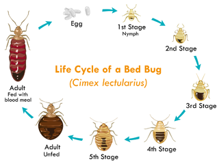 Stages of the bed bug life cycle