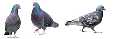 Humane bird control for pigeons, starlings, bats and other winged nuisances.