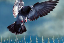 Commercial pest control for birds