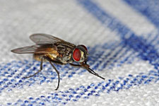 Pest control to kill house flies, fruit flies, and drain flies.