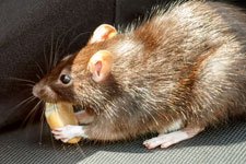 Get rid of rats and mice to keep your home safe and disease free.