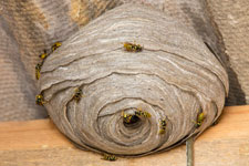 Professional Bee Hive and wasp nest removal services.