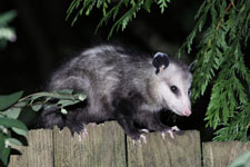 Get rid of opossums, skunks, squirrels and other pest wildlife.