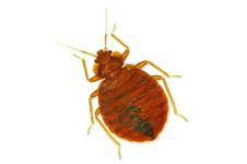 Prep Sheet: Bedbugs
